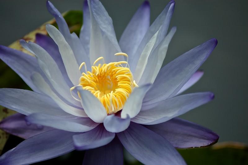 Blue Gigantea Water Lily<br /> Pledger Pond