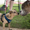 Shamrock (dachshund) and Harley (pit) - 6/11/17 - Katie Kresek