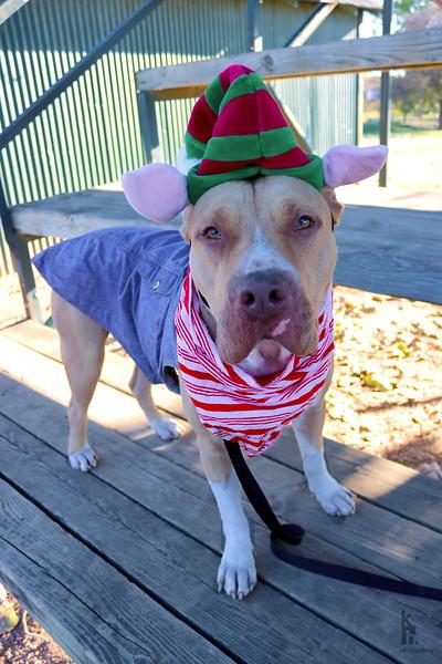 Moose - Elf - 12/12/2017 - Karen Hardwick