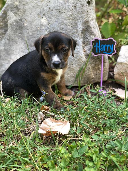 Donna pup 5 Harry - 08/06/2018 - Lisa Evins