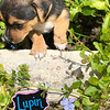 Donna pup 2 Lupin - 08/06/2018 - Lisa Evins