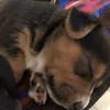 Donna pup 3 Draco - 08/06/2018 - Lisa Evins
