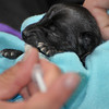 Bottle Baby Chihuahua - 10/30/10 - Jill Peterson