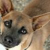 Dingo - Sept. 5, 2010 - Carolyn Yaschur