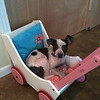 Booker - 6/15/10 - Mindy  Briggs<br /> 10-week old Booker, an adorable Australian Cattle mix pup, found a comfy place to sleep the other day in my daughter's doll pram.