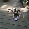 Booker  - 6/15/10 - Mindy Briggs<br /> Booker taking a break on the deck with his purple tug-of-war sock.