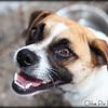 Pugsy-6/25/10-Chloe Pix Photography