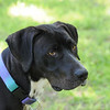 Domino  (photographed June 19, 2010 by Stuart Phillips d/b/a Grateful Dog Photography)
