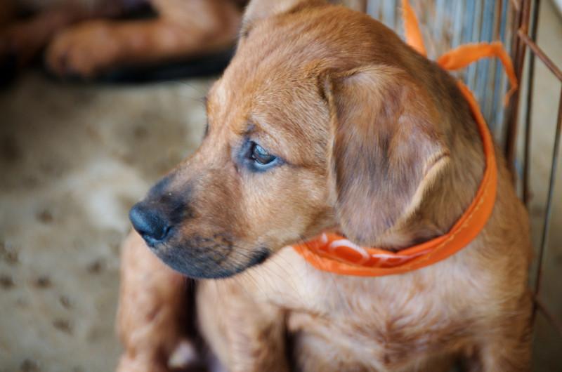 Wrangler ( one of the blue jean puppies), 9/06/10, Sylvia Cavazos-Malamon, Malamon Photography