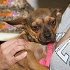 Daisy with potential adopter, 9/8/10, Sylvia Cavazos-Malamon
