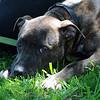 Boss   (photographed April 2010 by Stuart Phillips d/b/a Grateful Dog Photography)