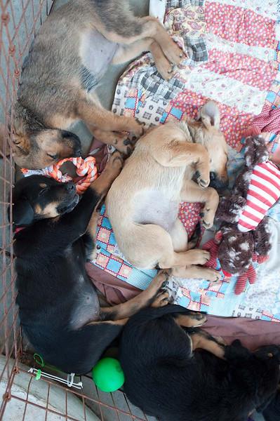 Australian Shepherd Mix puppies 10/26/11 Betsy Peticolas