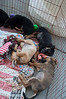Australian Shepherd Mix puppies 10/26/11 Betsy Peticolas