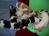 Diva and pups - 2/25/11 - Cheri Gerulatt