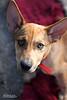 Dingo - 10/13/11 - Meredith Maples