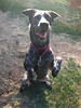 "Buck - 8/5/12 - Samantha Pollard<br /> <br /> This is his default ""sit""!!!!!"