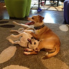 Apogee would love to have a brother or sister dog to play with and love