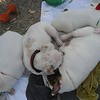 pile of puppies (jarrett, monika, mckenna, juno)- 1/24/13- j tooley