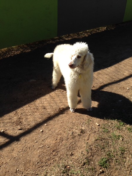 Nelly Poodle - 12/30/14 - Leora Oreant