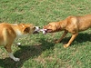 Apache (L) and Bonnie (R) play