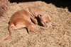 I love a nap in the hay. - photo by Roger Williams