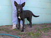 ADOPTED! Abby is a 1-year-old lab and cattle dog mix. She has been at the shelter since Feb. 21.