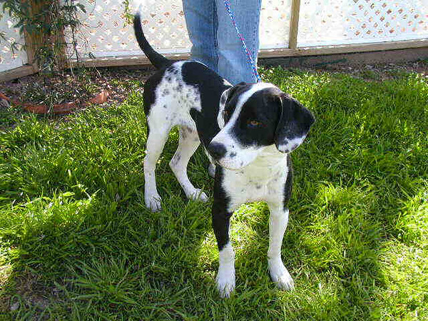 My name is Taurus. I am a neutered male pointer and lab mix. I am approximately 1 year old. I have been at the shelter since 2/6/2007.