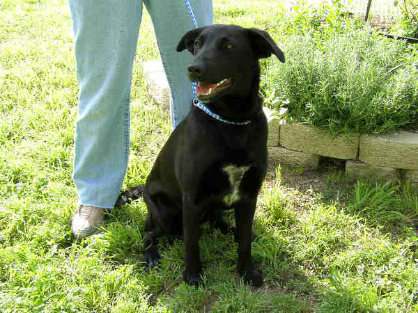 My name is Cindy. I am a spayed female, black and white Labrador Retriever mix. I am estimated to be 1 year and 1 month old.