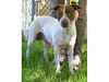 My name is Gigi. I am an unaltered female, white and tan Australian Cattle Dog and Pit Bull Terrier. I am estimated to be 2 years and 1 month old.