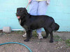 """ADOPTED! Visitors report that Leo is """"amazing"""" with small children. Leo can easily jump a 4-foot fence. He is a male flat-coat retriever mix. Leo is about 2 1/2 years old. He has been with us since 2/22/2007."""