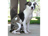 My name is Freya. I am a spayed female, white and brown merle Pit Bull Terrier mix. I am estimated to be 1 year and 1 month old.