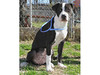 Cha-Cha is a spayed femal black and white pit bull mix. She is estimated to be six months old. She is in pen 265.