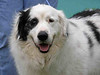 ADOPTED 3/27/07. My name is O'Malley, A462930. I am a neutered male, white and blue merle Australian Shepherd mix, 4 years old, pen 021