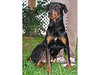 My name is Twyla (A394123). I am a 2-year-old spayed female rottweiler mix.