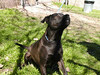 ADOPTED 3/18/07. My name is Lucky. I am a spayed female, chocolate Lab and Chow. I have lived with cats before.