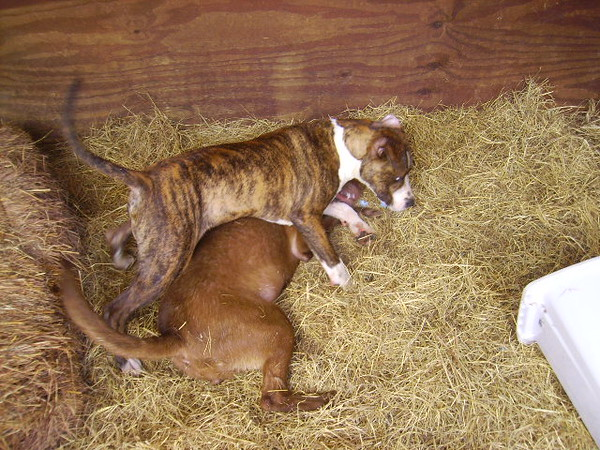 Stanley (brindle) gets the upper hand on Baby...for now