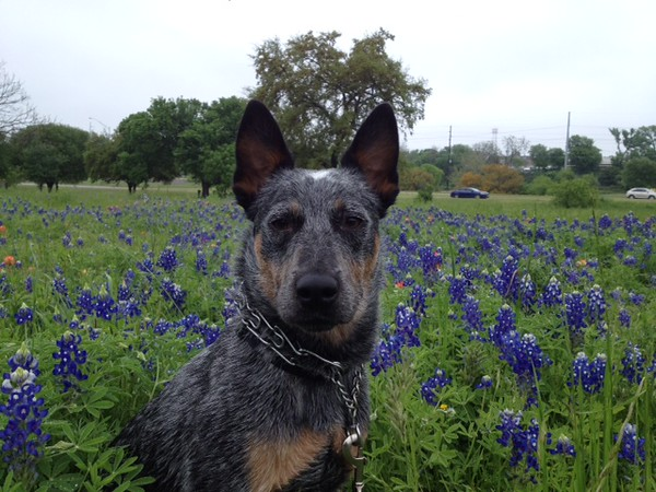 Pepper - 4/11/2015 - for foster