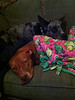 Pippa - 11/18/14 - for foster