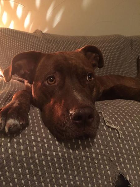 Roxie Moxie  - 1/19/2015 - foster