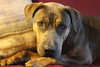 Pinto - 1/11/15 - for foster