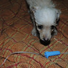 Parvo - Hunee Day 4 is up & walking around, in fact, she followed me around her room in the Parvo Ward - shorey russell