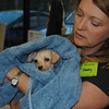 Hunnie's post parvo bath - just before emergency surgery to check her intestines/pancreas - shorey russell