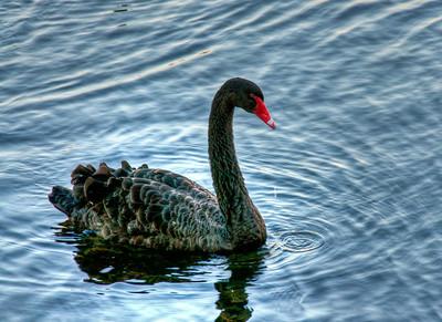black-swan-2