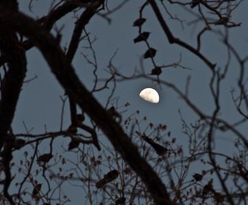 birds-tree-moon