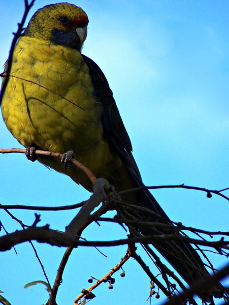 Green rosella, Tasman Peninsula, TAS
