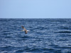 Albatross, Bruny Island, TAS.  This was our first sight of these graceful birds.