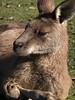 Forester kangaroo, Tasmanian Devil Conservation Park, TAS