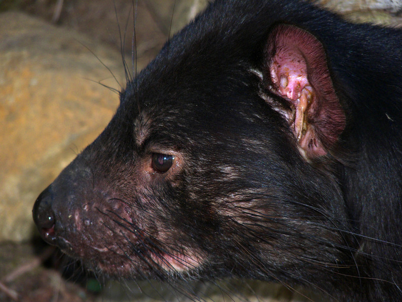 Tasmanian devil, Tasmanian Devil Conservation Park, TAS.  Since a contagious facial cancer began killing off these animals in large numbers, it has become difficult to see them in the wild.