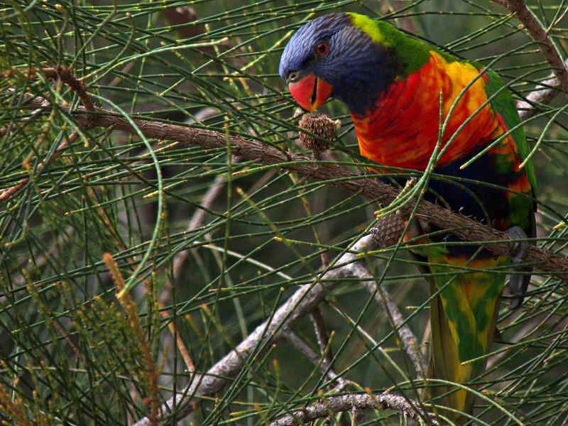 Rainbow lorikeet, near Huskisson, NSW