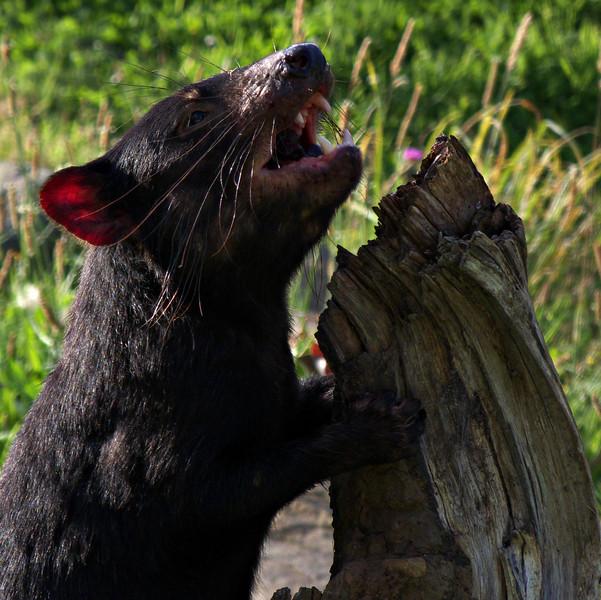 Tasmanian devil, Tasmanian Devil Conservation Park, TAS